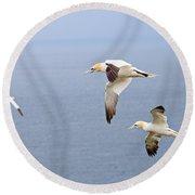 Northern Gannets In Flight Round Beach Towel