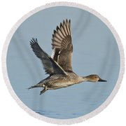 Northern Pintail Hen Round Beach Towel