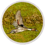 Northern Pintail In Flight Round Beach Towel