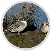 Northern Pintail Pair At Rest Round Beach Towel