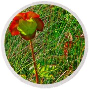 Northern Pitcher Plant In French Mountain Bog In Cape Breton Highlands-nova Scotia  Round Beach Towel