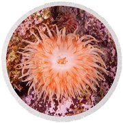 Northern Red Anemone Round Beach Towel