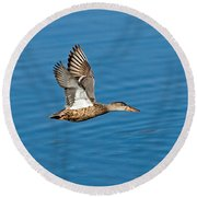 Northern Shoveler In Flight Round Beach Towel