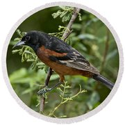 Orchard Oriole Male Round Beach Towel
