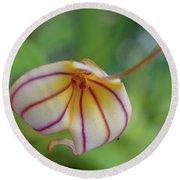 Orchids - Masdevallia Hybrid Round Beach Towel