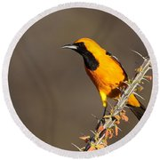 Oriole On Ocotillo Round Beach Towel