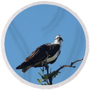 Osprey In A Tree Round Beach Towel