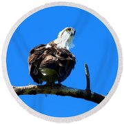 Osprey On A Branch Round Beach Towel