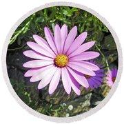 Osteospermum - African Daisy - Pink Round Beach Towel