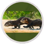 Otters Crossing The Road  Round Beach Towel