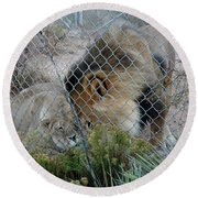 Out Of Africa Lions 4 Round Beach Towel
