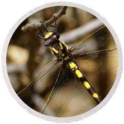 Pacific Spiketail Dragonfly On Mt Tamalpais 2 Round Beach Towel