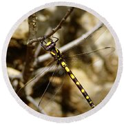 Pacific Spiketail Dragonfly On Mt Tamalpais Round Beach Towel