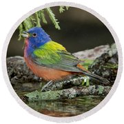 Painted Bunting Drinking Round Beach Towel