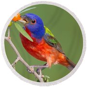 Painted Bunting Eating Granjeno Berry Round Beach Towel