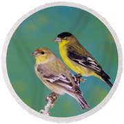 Pair Of Lesser Goldfinches Round Beach Towel