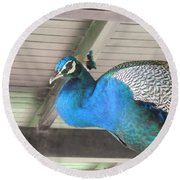 Peacock In The Rafters Round Beach Towel