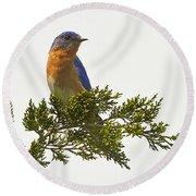 Perched Eastern Bluebird Round Beach Towel