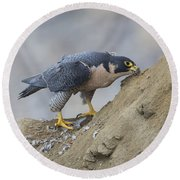 Peregrine Cleaning Beak Round Beach Towel