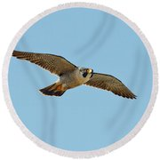 Peregrine Falcon In Flight Round Beach Towel