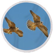 Peregrine Siblings Chasing Each Other Round Beach Towel