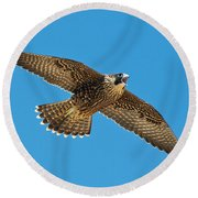 Peregrine Young Screaming For Food Round Beach Towel