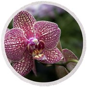 Phalaenopsis Helen Alice Mary 2308 Round Beach Towel