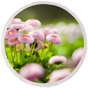 Bellis Perennis Pomponette Called Daisy Blooming  Round Beach Towel