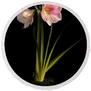 Pink Diamond Amaryllis Round Beach Towel by Claudio Bacinello