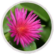Pink Flower Of Succulent Carpet Weed  Round Beach Towel
