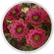 Pink Hedgehog Cactus Flowers  Round Beach Towel