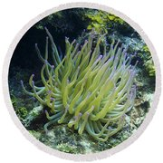 Pink Tipped Giant Sea Anemone Round Beach Towel
