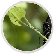 Pipevine Swallowtail Mother With Eggs Round Beach Towel