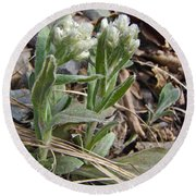Plantain-leaved Pussytoes Wildflowers - Antennaria Plantaginifolia Round Beach Towel