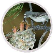 Plumbeous Vireo Feeding Worm To Chicks Round Beach Towel