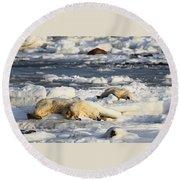 Polar Bear Mother And Cub Grooming Round Beach Towel
