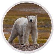 Polar Bear, Spitsbergen Island Round Beach Towel