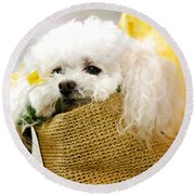 Poodle In Pouch Round Beach Towel