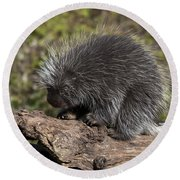 Porcupine Looking For Food Round Beach Towel
