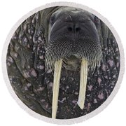 Portrait Of A Walrus Round Beach Towel