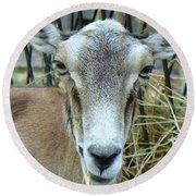 Portrait Of Mouflon Ewe Round Beach Towel