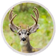 Portrait Of Mule Deer Buck With Velvet Antler  Round Beach Towel