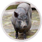 Potbelly Pig Standing Round Beach Towel