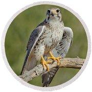 Praire Falcon On Dead Branch Round Beach Towel