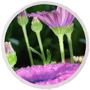 Purple And Pink Daisy Flower In Full Bloom Round Beach Towel