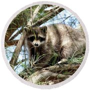 Raccoon In A Tree Round Beach Towel