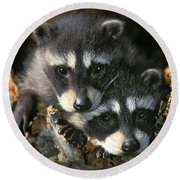 Raccoon Young Procyon Lotor In Tree Round Beach Towel