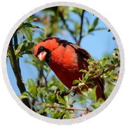 Red Cardinal In Springtime Round Beach Towel