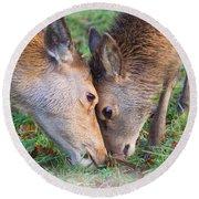 Red Deer  Cervus Elaphus  Head To Head Round Beach Towel
