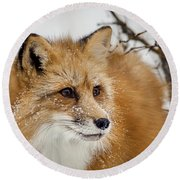 Red Fox In Snow Round Beach Towel